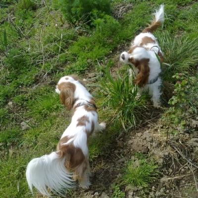 Vridsløse skov og hundeskov med Cavalierklubben kreds 10