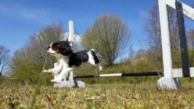 Sofus-agility-1-foto_Pernille_Anna_Knudsen