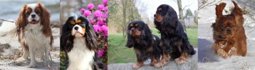 Cavalierern i de 4 forskellige farver: Blenheim - Tricolour - Black and Tan - Ruby